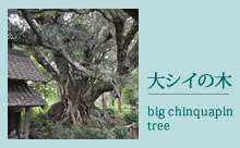 大シイの木 | chinquapin tree